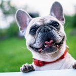Conheça quais são as principais razões que fazem o seu cão não parar de latir.