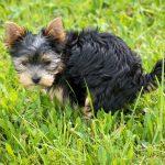 Xixi no tapete nunca mais! Saiba como usar o tapete higiênico para cães